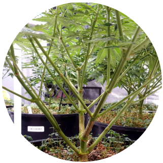 HiBuddy Marijuana Plant